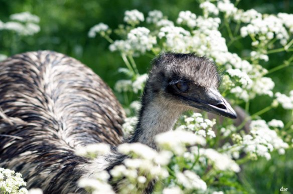 emu-blomma